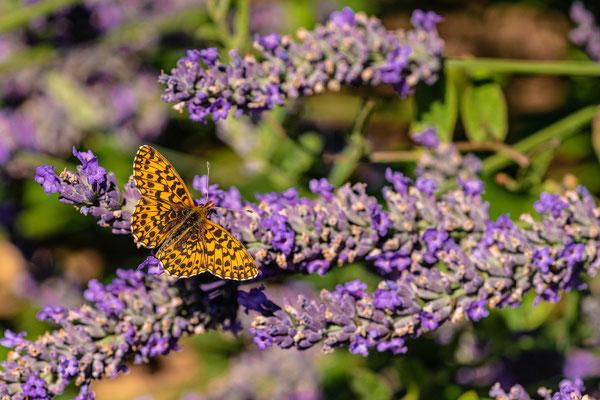 Perlmuttfalter im Lavendelfeld