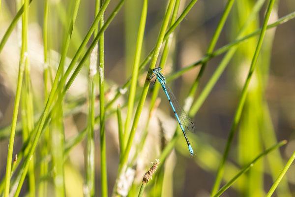 Libelle bei Geinsheim