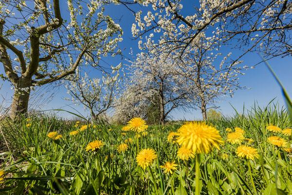 Kirschblüte bei Freinsheim