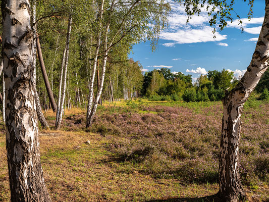 Kleines Heidegebiet bei Hassloch