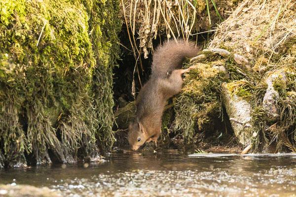 Durstiges Eichhörnchen an der Quelle des Doubs im franz. Jura