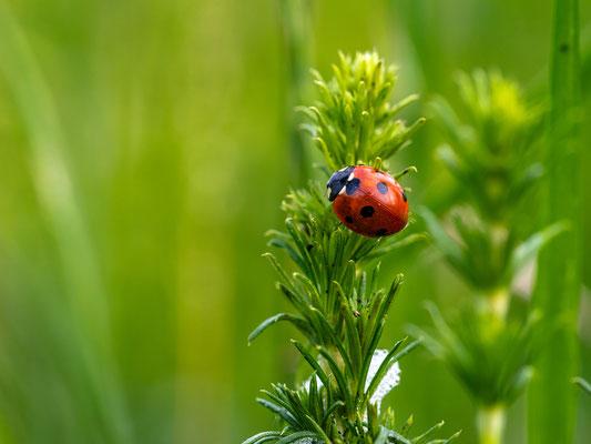 Marienkäfer auf einer Wildblumenwiese bei Duttweiler