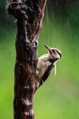 Buntspecht im Gewitterregen