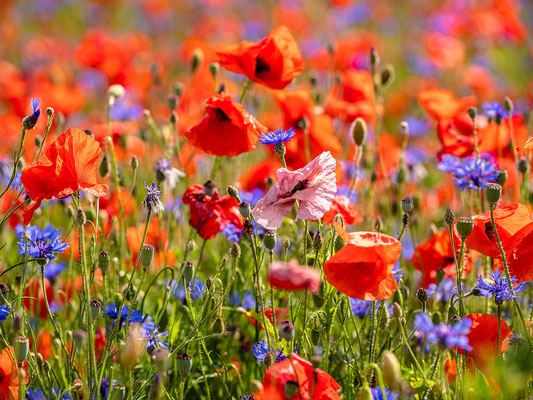 Wildblumenwiese bei Hassloch