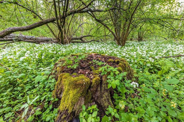 Bärlauchblüte im Queichtal