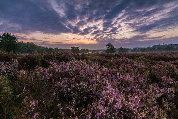 Blühendes Heidekraut in der Morgendämmerung