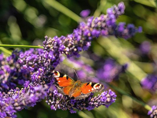 Tagpfauenauge im Lavendelfeld