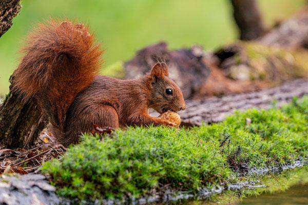 Eichhörnchen mitWalnuss