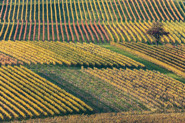 Herbstliche Weinberge im Abendlicht