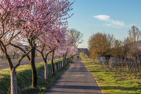 Mandelblüten im Morgenlicht bei Bad Dürkheim