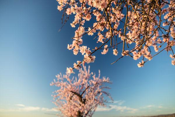 Mandelblüte in Forst kurz nach Sonnenaufgang