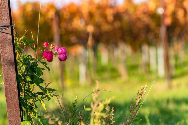Goldener Herbst auf der Kleinen Kalmit