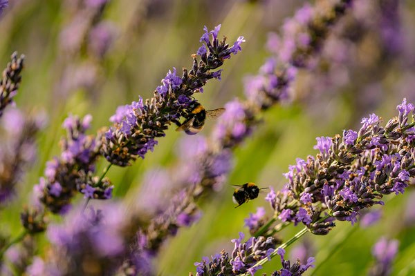 Lavendelfeld bei Asselheim