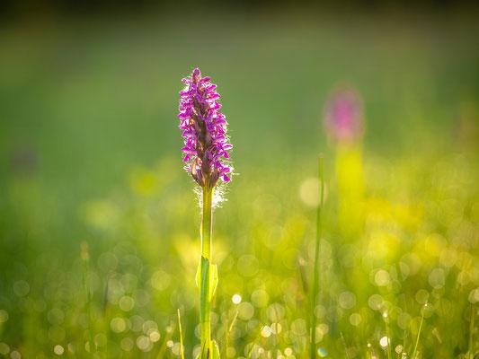 Orchideen bei Geinsheim