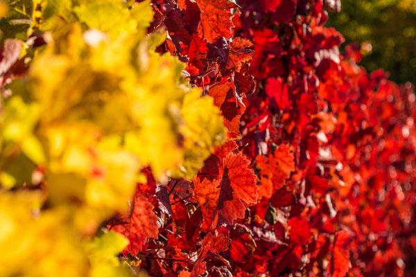 Laubfärbung in den Weinbergen