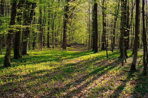 Morgenstimmung im Bienwald