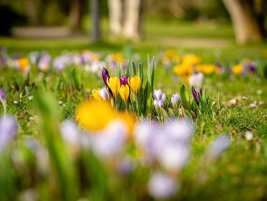 Krokusblüte im Dürkheimer Kurpark