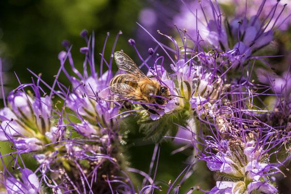 Auf einer Wildblumenwiese bei Diedesfeld