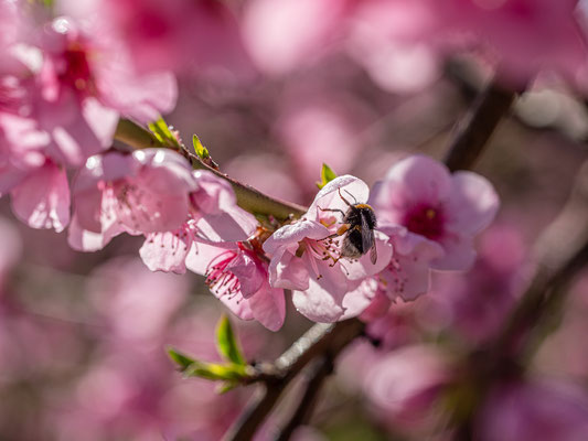 Pfirsichblüte in Neustadt