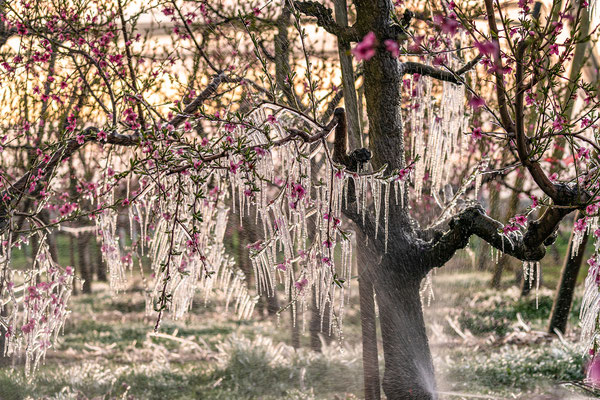 Frsotschutzberegnung bei den Pfirsichblüten