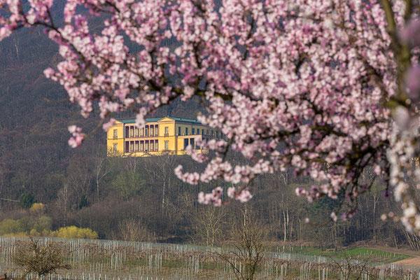 Villa Ludwigshöhe, umrahmt von Mandelblüten