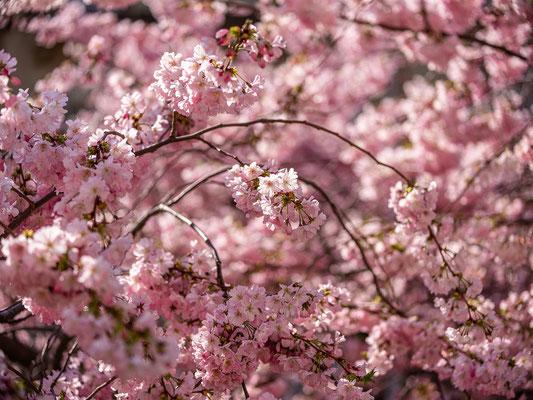 Zierkirschblüte in Neustadt