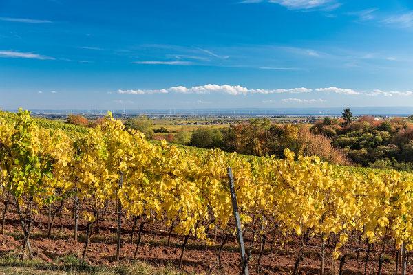 Herbstliche Weinreben bei Weyher