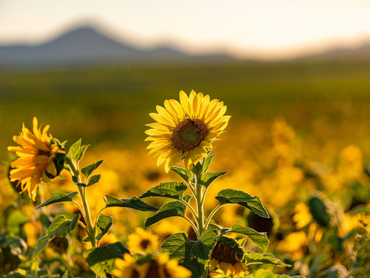 Sonnenblumenfeld bei Godramstein