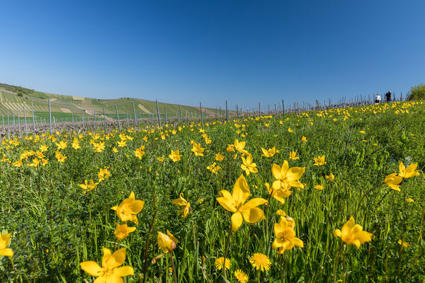 Blühende Wildtulpen bei Gau-Odernheim