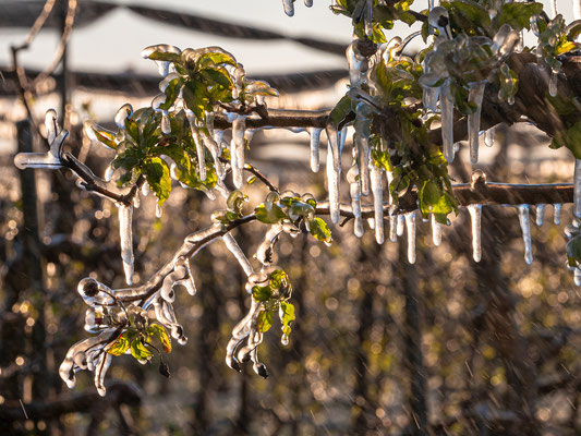 Frostschutzberegnung in Neustadt