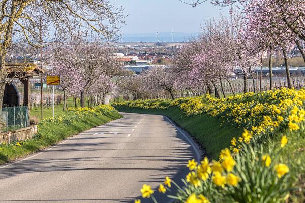 Mandel- und Narzissenblüte bei Nussdorf