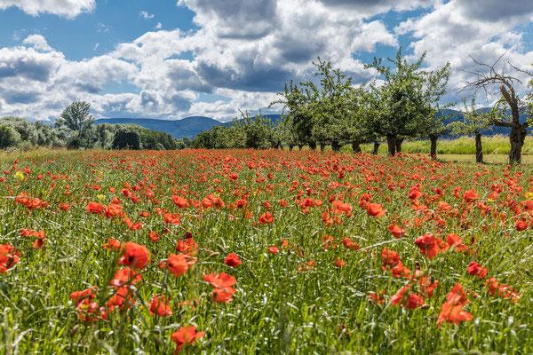 Mohnblüte bei Diedesfeld