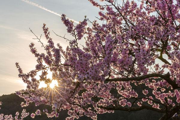 Mandelblüte in Gimmeldingen