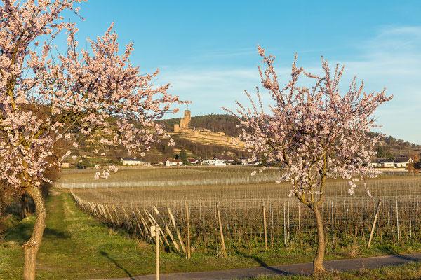 Mandelblüte bei Wachenheim