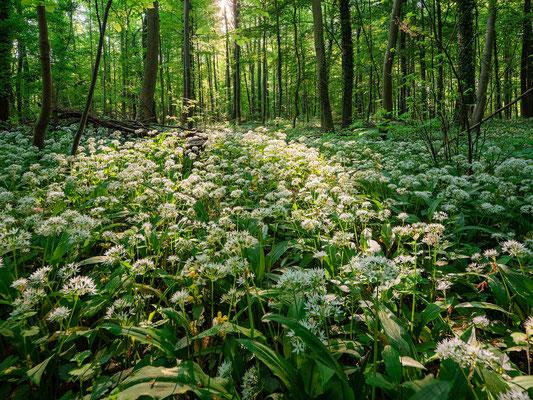 Bärlauchblüte in Neuburgs Wäldern