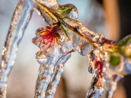 Frostschutzberegnung an Pfirsichblüten bei Neustadt