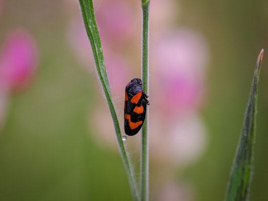 Zickade auf einer Wildblumenwiese bei Duttweiler