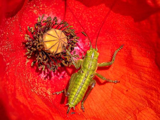Heuschreckenlarve in Mohnblüte