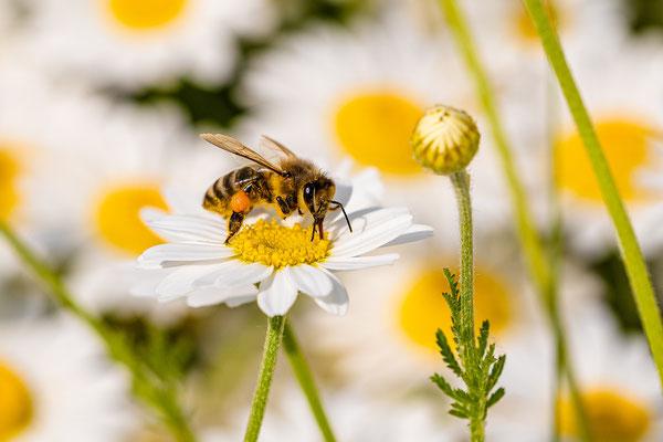 Biene in der Wildblumenwiese