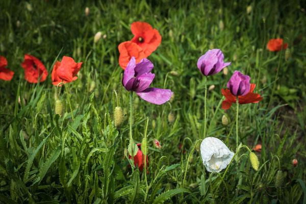 Dreierlei Farben von Mohnblüten bei Rheinzabern