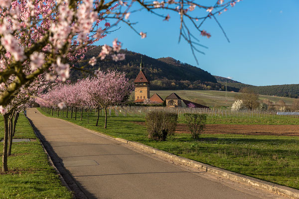 Mandelblüte am Geilweilerhof