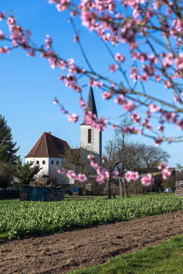 Mandelblüte bei Scheibenhardt