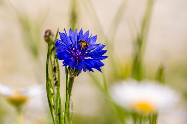 Wildbiene auf Kornblume