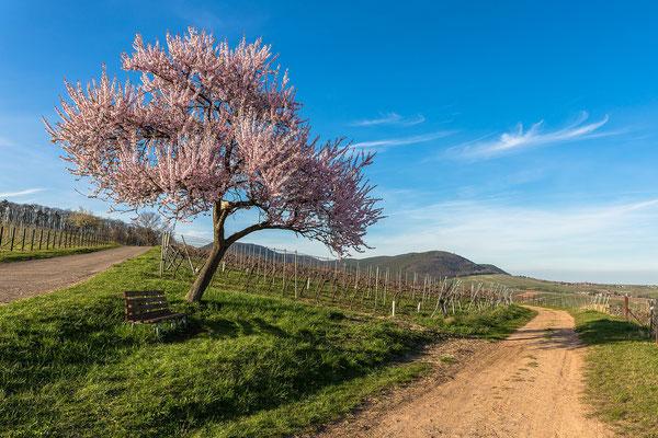 Mandelblüte bei Birkweiler