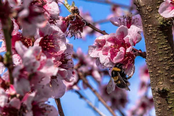 Obstblüte in Freinsheim