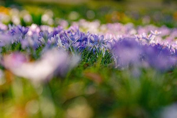 Krokusblüte im Kurpark