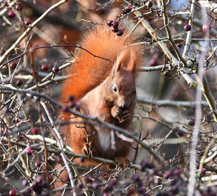 Eichhörnchen (Foto: Klaus-Gerhard Kirstein)
