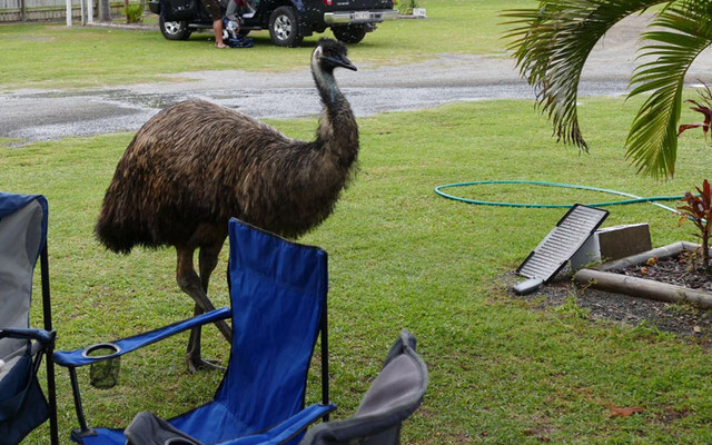 Emu am Campingplatz in Yeppoon