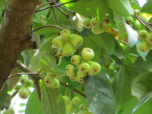So sehen die Äpfel auf Sansibar aus