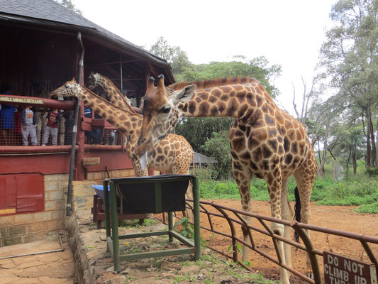 Giraffen Center in Nairobi